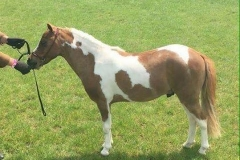 Donabi UK UNO Cartier bred by Eileen Yaxley