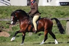 Rebecca-orr-Horse-Pony-Rhwngddwyafon-cadwgan
